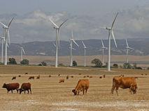 Wind turbines and landscape bulls. Countryside landscape with mountains in the background with a farm of wind turbines and loose bulls Stock Photography
