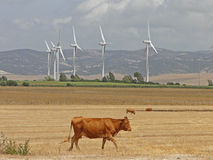 Wind turbines and landscape bulls. Countryside landscape with mountains in the background with a farm of wind turbines and loose bulls Royalty Free Stock Image
