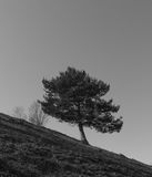 The wind twisted tree on the mountain. The wind twisted tree on the sloping mountain stock photos