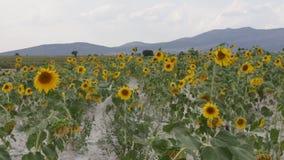 Wind und das breite Sonnenblumenfeld stock video