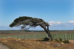 Wind verbogener Baum Stockbild