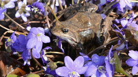 Wind in violet flowers and frog stock video