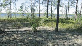 The wind is waving vegetation on the shore lake. The wind is waving vegetation on the shore of the wild Siberian lake in the taiga stock footage