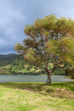 Wind in Weeping Willow next to Lake, Sao Miguel Royalty Free Stock Images