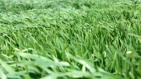 Wind in the wheat field stock video