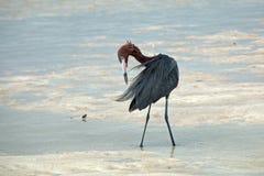Windblown мексиканский рыжеватый Egret (rufescens Egretta) прихорашиваясь в отмелых приливных водах полуострова Blanca Isla Стоковые Фотографии RF