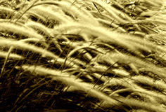 Windblown autumn grass  Royalty Free Stock Photos