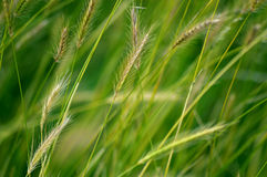 Windblown Barley Royalty Free Stock Images