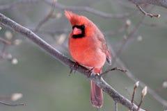 Windblown Cardinal Stock Images