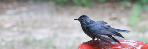 Windblown- Catbird Royalty Free Stock Image