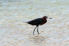 Windblown Czerwonawy Egret odprowadzenie w Isla Blanca Cancun Meksyk Zdjęcie Stock
