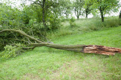 Windblown Fallen Tree Royalty Free Stock Photo
