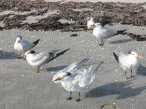 Windblown fiskmåsar på den sandiga stranden Arkivbild