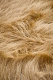 Windblown Grass. A whorl in a field of windblown dry grass Royalty Free Stock Photos