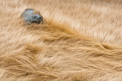 Windblown Grass, Blue Stone Royalty Free Stock Photo