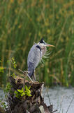Windblown Great Blue Heron Stock Photography