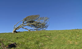 Windblown Hawthorn Stock Images