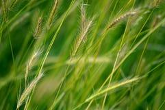 Windblown korn Royaltyfria Bilder