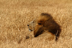 Windblown Lion. A resting male lion with the wind blowing its large mane back royalty free stock photos