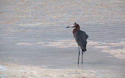 Windblown Mexican Reddish Egret (Egretta rufescens) hunting in the shallow tidal waters of the Isla Blanca peninsula stock photos