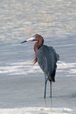 Windblown Mexican Reddish Egret (Egretta rufescens) hunting in the shallow tidal waters of the Isla Blanca peninsula stock image