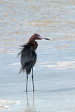 Windblown Mexican Reddish Egret (Egretta rufescens) hunting in the shallow tidal waters of the Isla Blanca peninsula royalty free stock image