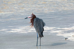 Windblown Mexican Reddish Egret (Egretta rufescens) hunting in the shallow tidal waters of the Isla Blanca peninsula. (narrow strip of land between Chacmuchuk royalty free stock images