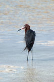 Windblown Mexican Reddish Egret Egretta rufescens hunting in the shallow tidal waters of the Isla Blanca peninsula Royalty Free Stock Images