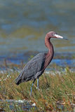 Windblown Mexican Reddish Egret (Egretta rufescens) hunting in the shallow tidal waters of the Isla Blanca. Peninsula (narrow strip of land between Chacmuchuk royalty free stock photo