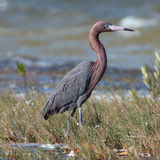 Windblown Mexican Reddish Egret (Egretta rufescens) hunting in the shallow tidal waters of the Isla Blanca stock photo