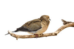 Windblown mourning dove Royalty Free Stock Photography