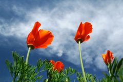 Windblown poppies. Close-up of spring orange poppies taken from beneath with blue sky with clouds in the background royalty free stock photo