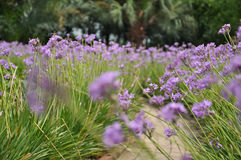 Windblown purpurrote Blumen Lizenzfreie Stockfotografie