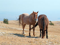 Windblown Red Roan Band Stallion with his Bay Mare on Sykes Ridge in the Pryor Mountain Wild Horse Range in Montana Royalty Free Stock Image