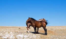 Windblown Red Roan Band Stallion with his Bay Mare on Sykes Ridge in the Pryor Mountain Wild Horse Range in Montana Stock Image