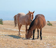 Windblown Red Roan Band Stallion with his Bay Mare on Sykes Ridge in the Pryor Mountain Wild Horse Range in Montana Stock Photography