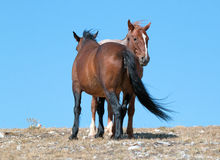 Windblown Red Roan Band Stallion with his Bay Mare on Sykes Ridge in the Pryor Mountain Wild Horse Range in Montana Stock Photo