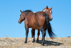 Windblown Red Roan Band Stallion with his Bay Mare on Sykes Ridge in the Pryor Mountain Wild Horse Range in Montana Royalty Free Stock Photo