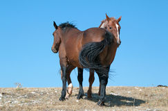 Windblown Red Roan Band Stallion with his Bay Mare on Sykes Ridge in the Pryor Mountain Wild Horse Range in Montana Royalty Free Stock Images
