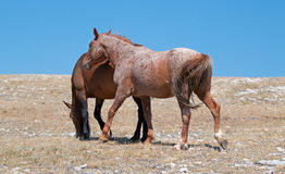 Windblown Red Roan Stallion with his Bay mare on Sykes Ridge on the Wyoming Montana state line Royalty Free Stock Photos
