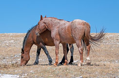 Windblown Red Roan Stallion with his Bay mare on Sykes Ridge on the Wyoming Montana state line Royalty Free Stock Image