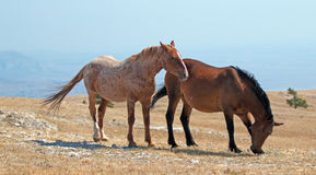Windblown Red Roan Stallion with his Bay mare on Sykes Ridge on the Wyoming Montana state line Royalty Free Stock Photography