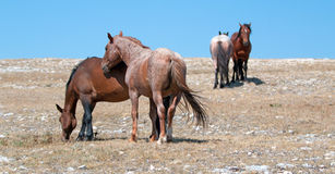Windblown Red Roan Stallion with his Bay mare on Sykes Ridge on the Wyoming Montana state line Stock Photos