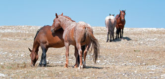 Windblown Red Roan Stallion with his Bay mare on Sykes Ridge on the Wyoming Montana state line Royalty Free Stock Photo