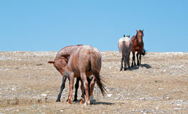 Windblown Red Roan Stallion with his Bay mare on Sykes Ridge on the Wyoming Montana state line Stock Image