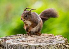 Windblown Red Squirrel Stock Photos