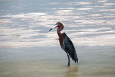 Windblown Reddish Egret hunting in Isla Blanca Cancun Mexico tidal waters Royalty Free Stock Images