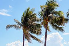 Windblown royal palm trees Stock Images