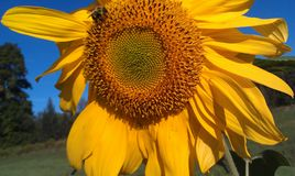 Windblown Sunflower. Wind blown summer sunflower with pollen covered bee and small green bug in the shadows royalty free stock photos