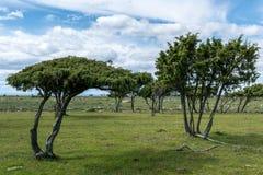 Windblown träd från lägenheten och det mycket avlägsna södra slutet av Ã-land arkivfoton